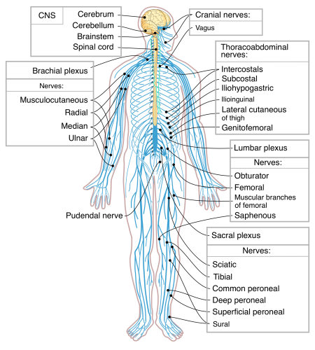 The nervous system (image from Wikimedia)